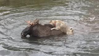 Лайки. Работа по лосю. Охота с лайкой на лося. | Moose hunting with dogs. Laika holds a moose.