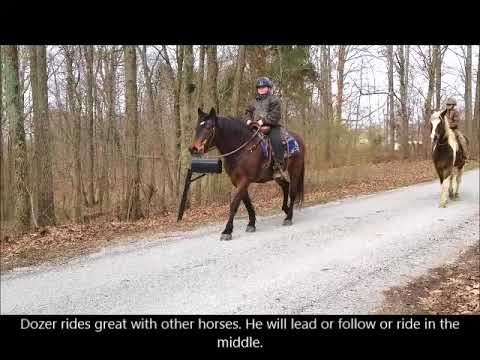 "FOR SALE ""Dozer"" 15.1h Morgan / Belgium Draft Cross Gelding Rides Drives"
