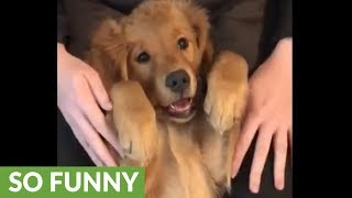 子犬とてアイドル性は抜群なんだから。ゴールデン・レトリバーの子犬のみせたウィンク