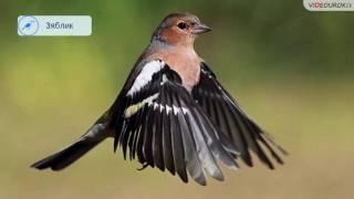 Видеоурок «Перелётные птицы»(Скачать это видео для своей работы вы можете по ссылке: https://videouroki.net/blog/vidieourok-pierieliotnyie-ptitsy.html Полный комплект..., 2016-08-26T07:08:01.000Z)