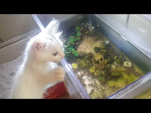 Turkish Angora Cat Kitten Short Hair D 45 1 Youtube