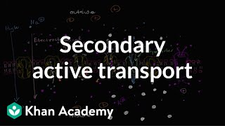 Electrochemical Gradient And Secondary Active Transport
