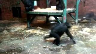 Chimps Wipeout Family Of Ducks In Mass Attack