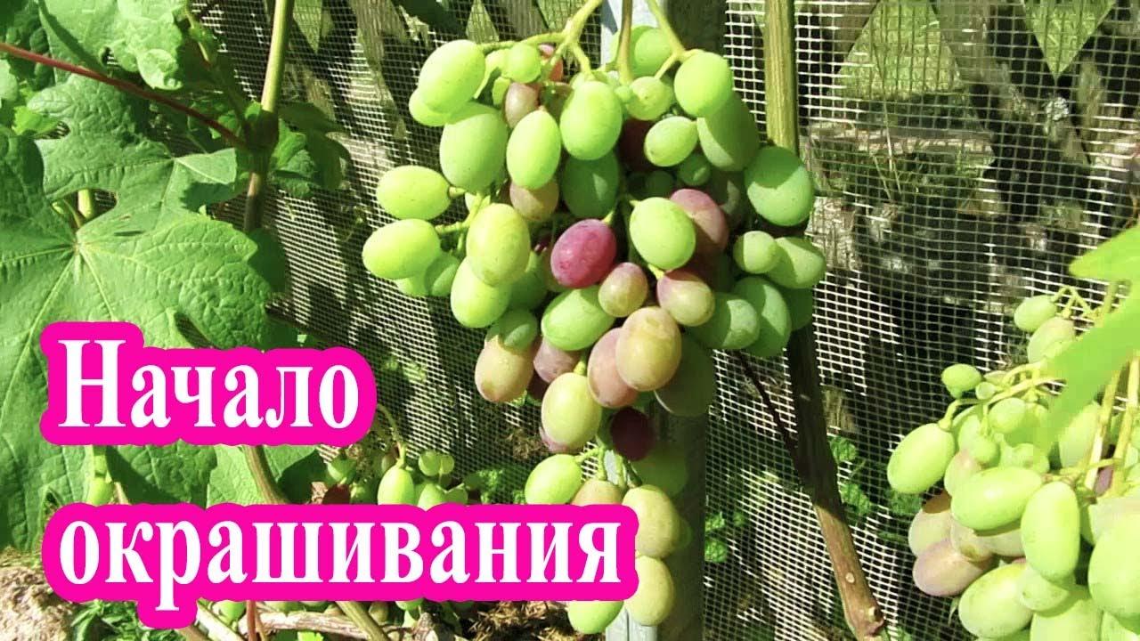 🔴🔴Начало окрашивания винограда, Оидиум на винограде. Окрашивание винограда.  Виноград в Беларуси.