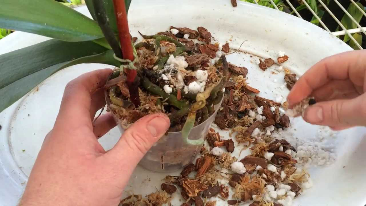 Easy Orchid Care Repotting A Phalaenopsis With Rotten
