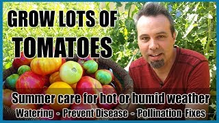 Grow Lots of Tomatoes // Summer Care for Hot or Humid Weather // Prevent Disease - Pollination Fixes