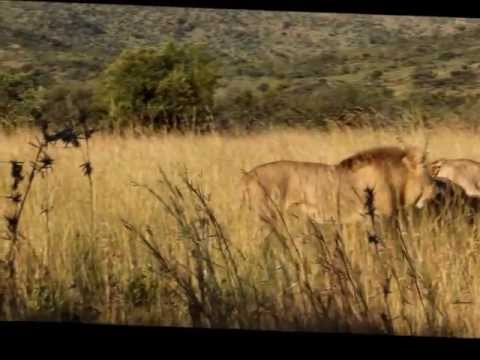 Lions Battle - Lions Protecting Mother