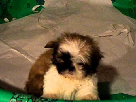 Shih Tzu Puppy Video Funnydog Tv