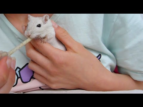 How Much Does A Gerbil Cost? [Initial & Yearly Cost Breakdown]