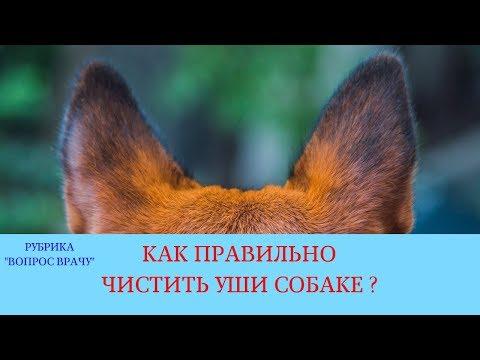 Вопрос: Как ухаживать за ушами собаки и лечить их во время отита?