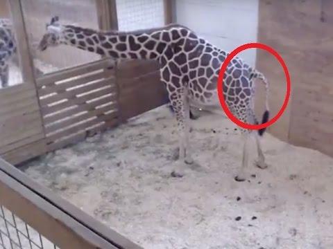 Apirl FINALLY GIVES BIRTH 9 (Giraffe) -March 7th-