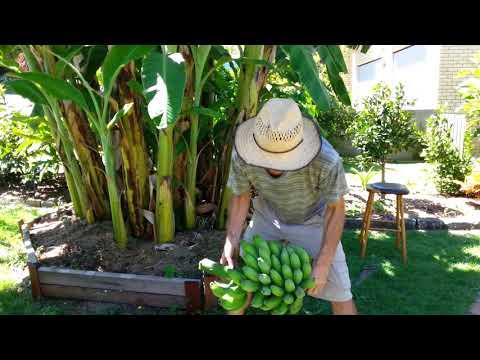HARVESTING HOME GROWN BANANAS - OFF GRID LIVING