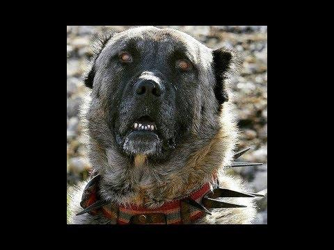 ÇAPAR - Anadolunun Karayaka Aslanları - Turkish Shepherd Dogs in Brindle Color Version