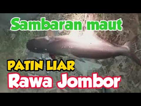umpan-patin-/-jambal-roti-tawar-ampuh-!!-|-big-catfish-catched-on-jombor-lake