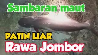 Gimana RaSAnya ditarik PATIN /JAMBALSeGede ini ??? | Big Catfish Catched on Jombor Lake Mp3