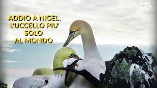 Nuova Zelanda, addio a Nigel: l'uccello marino più solo al mondo