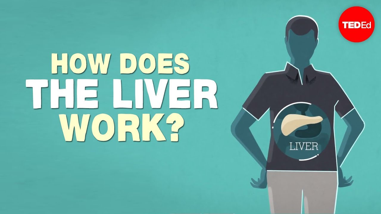 what does the liver do? - emma bryce - youtube, Human Body