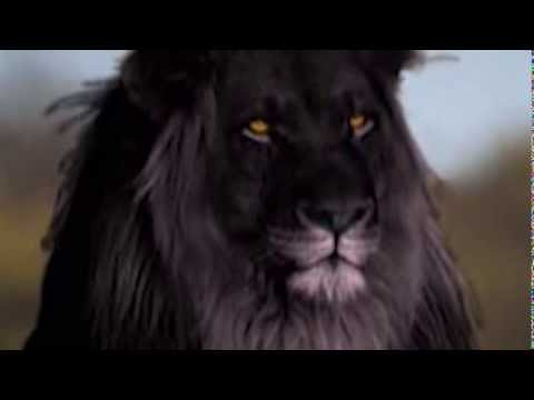 IS THE BLACK LION REAL?!?! - YouTube