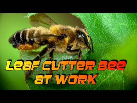 Leaf Cutter Bee At Work