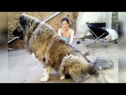 These Massive Dogs Were Once Used To Hunt Bears, Now See Their Size!