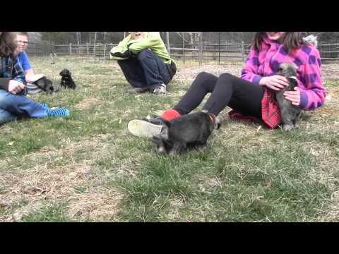 AKC Mini Schnauzer Puppies - For Sale, Ready 3/21/14 Concord, North Carolina, Puppies For Sale