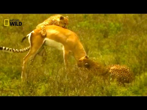 ✧ Wild Conquerors Of Africa ✧ NATIONAL GEOGRAPHIC DOCUMENTARY / LION And CHEETAH {HD Video Animal}