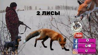 Охота с ягдтерьером - две лисы из одной норы