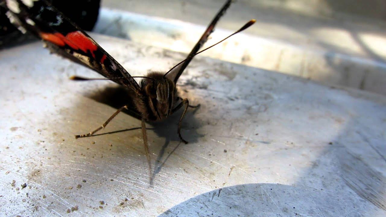 Injured Erfly