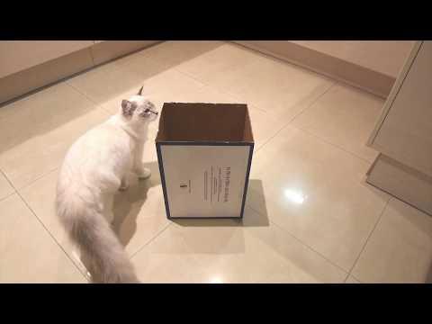 Ragdoll cat playing with cardboard box