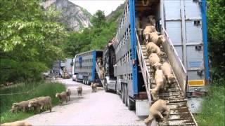 Transhumance Alpes de Haute Provence - 23 Mai 2014