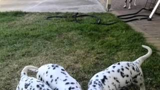 Dalmatian Pups - Stablemate Kennels
