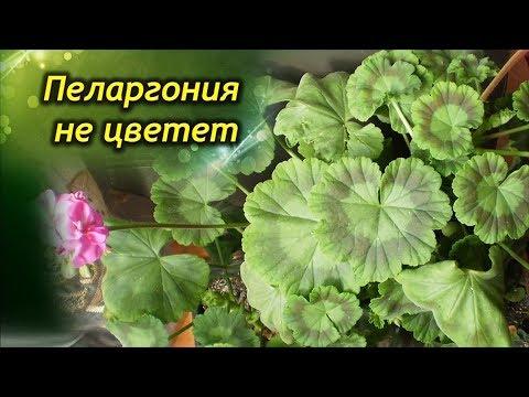Как заставить Герань цвести? Как добиться обильного цветения Пеларгонии?
