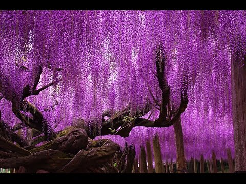 How To Grow Wisteria From Seed Youtube