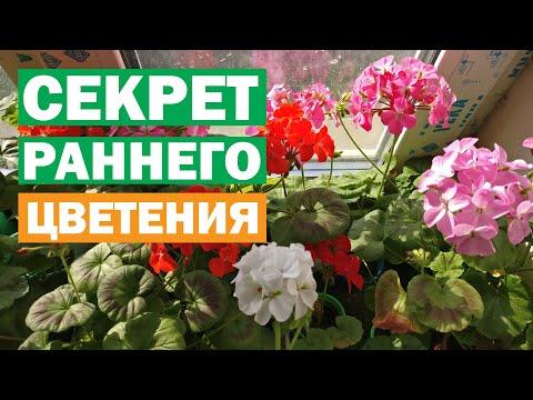 Как заставить цвести пеларгонии! Как ускорить цветение! Выращивание герани из семян и черенков