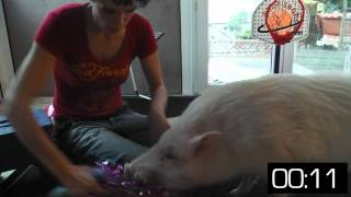 Schwein TierV - Moritz macht Tricks