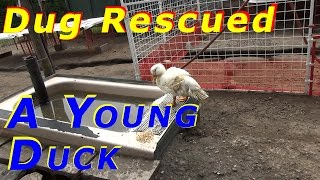 Dug The Duck Protector Rescues A Young Duck Today #66 Hatching Ducklings Ducks