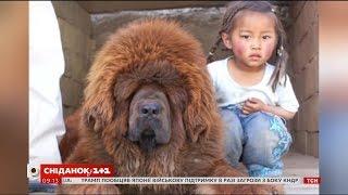 Тибетський мастиф: що варто знати про породу