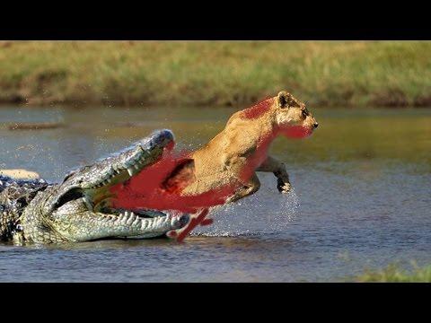 super wild fight: Crocodile vs Lion! who win? bloody fight ...