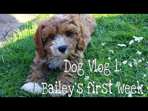 CAVAPOO PUPPY | DOG VLOG 1 - BAILEY'S FIRST WEEK