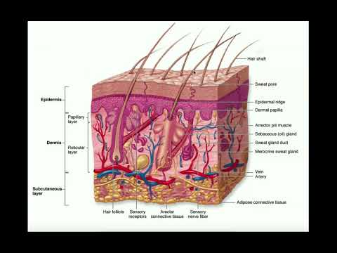 The Integumentary System | The Dermis & Hypodermis