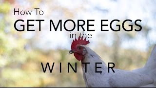 How to get chickens to lay more eggs in the winter