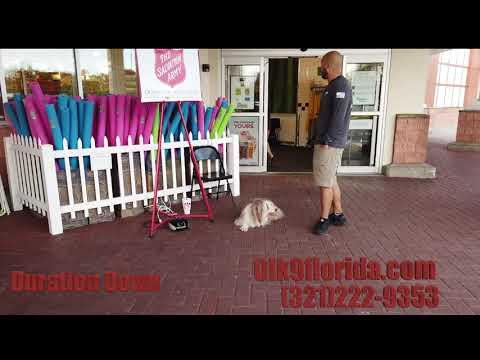 "8 Year Old Border Collie Bearded Collie mix ""Rupert""/ Dog Training/ Best Dog Trainer Orlando"