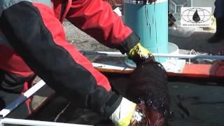 Сбор нефти с поверхности водоема(Технология по сбору нефтепродуктов с поверхности водоемов. Данный метод позволяет собирать нефть, как..., 2013-04-29T17:26:43.000Z)