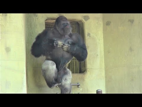 シャバーニ ドラミング50連 Gorilla  drumming50beat  Best Shabani
