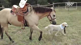 Лабрадор ездит верхом на лошади. Дружба лошади и собаки