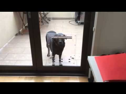 Larger Dog Walking Through A New Pdagf Dog Door With Barrel Bolts