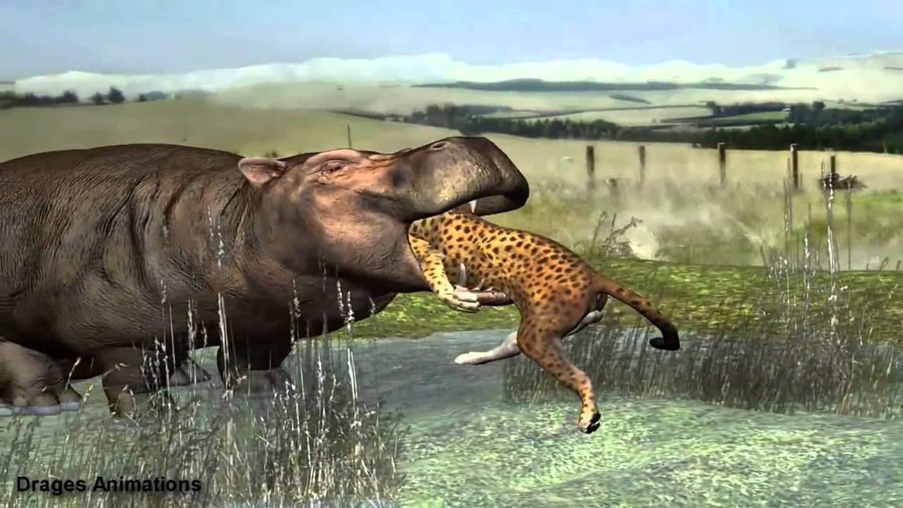Where Does A Cheetah Live >> hippo eat leopard - YouTube