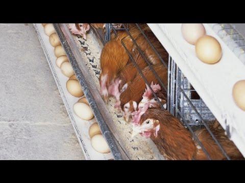 Big Dutchman: Univent baterai sabuk kotoran untuk ayam petelur