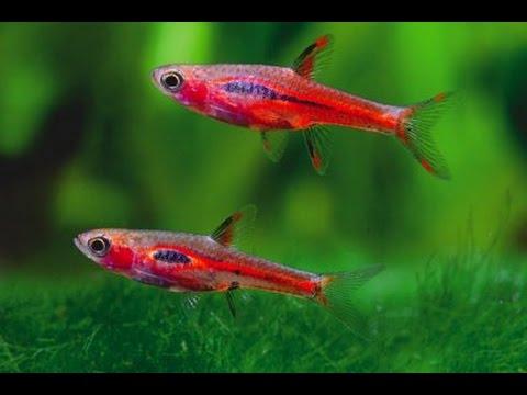 Top 5 freshwater nano fish 4k youtube for Freshwater schooling fish