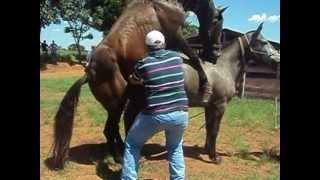 Repeat youtube video Retirando sêmen do cavalo na FAZU